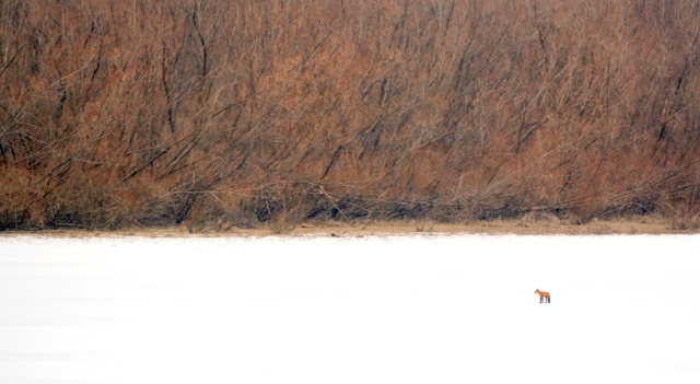 Fox on frozen pond, Beardstown Illinois