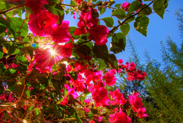 Bougainvillea, at home